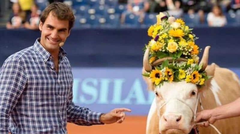 federer cow
